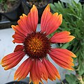 Gaillardia aristata public domain IMG 4971.jpg
