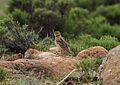 Galerida magnirostris (Alaudidae) (Large-billed Lark), Lesotho.jpg