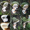 Ganoderma adspersum or G. australe or G.tornatum (GB= Polyporus Australis or Southern Bracket, D= Wulstige Lackporling, F= Ganoderme d'Europe, NL= Dikrandtonderzwam) brown spores and causes white rot, at Rozendaalsewe - panoramio.jpg