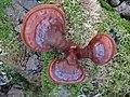 Ganoderma lucidum 33544800.jpg