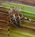 Garden Spider. Araneus diadematus - Flickr - gailhampshire (1).jpg