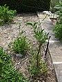 Gardenology.org-IMG 2832 rbgs11jan.jpg