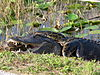 An American alligator and a Burmese python struggling in Everglades National Park