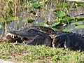 Gator and Python.jpg