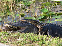 An alligator on a bank with a large snake in its mouth that has also wrapped itself around the alligator
