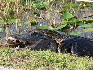 Burmese pythons in Florida - An American alligator and a Burmese python in Everglades National Park.