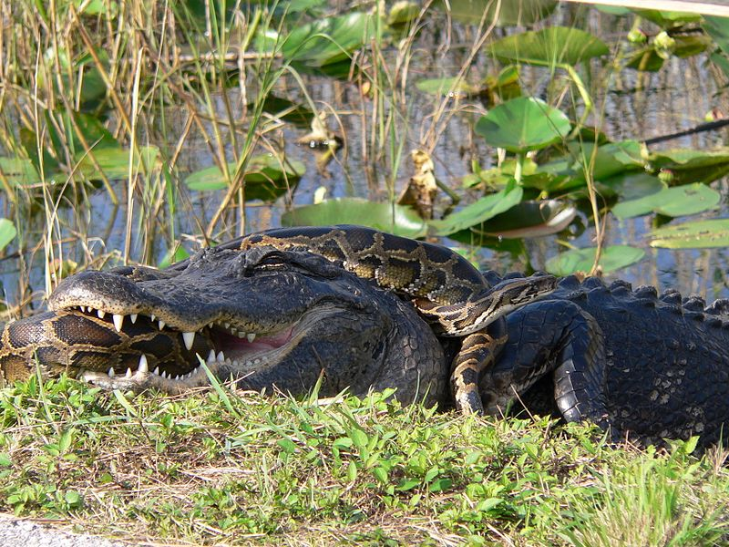 Burmese Python in the Everglades with Alligator