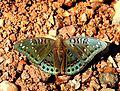 Gaudy Baron Euthalia lubentina Male by Dr. Raju Kasambe DSCN1050 (2).jpg