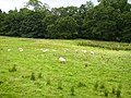 Geese and sheep grazing together near Kildale - geograph.org.uk - 224789.jpg