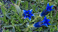 Gentiana occidentalis - Kew Gardens.jpg