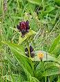 Gentiana purpurea at Lac de Roy (3).jpg