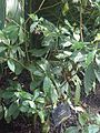 Gentianales - Psychotria carthagenensis - kew 1.jpg