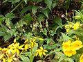 Geranium seemannii Costa Rica 2.jpg