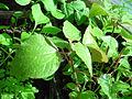 Gesnouinia arborea (Tree Pellitory) seedlings..jpg