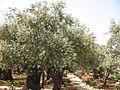 Gethsemane olive trees 2217 (508026852).jpg