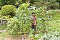 Giant okra plant.jpg