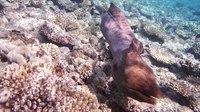 File:Gigantische Muräne (Muraena). Giant Moray. Гигантская мурена.DSCF3631.webm