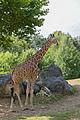 Giraffa camelopardalis (Girafe) - 384.jpg