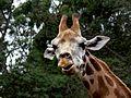 Giraffe (10417517974).jpg