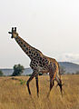 Giraffe TaitaHills Kenia.jpg