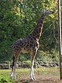Giraffe at Paignton Zoo in 2010.jpg