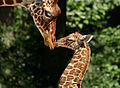 Giraffes. Photo Artis Royal Zoo, Ronald van Weeren.jpg