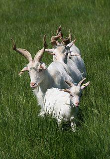 Girgentana Italian breed of goat