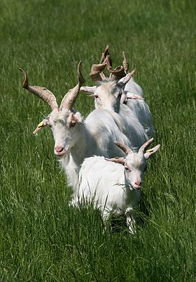 a group of white goats with long twisted horns