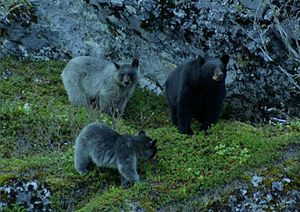 Glacier bear - A black bear with glacier bear cubs