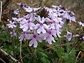 Glandularia canadensis by Danny S. - 001.jpg