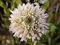 Globularia alypum 'albina' (6844153526).jpg