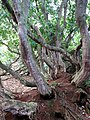 Gnarly rhododendron trunks - geograph.org.uk - 609505.jpg