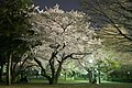 Going to see cherry blossoms at night - panoramio.jpg