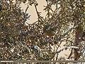 Goldcrest (Regulus regulus) (37541147700).jpg