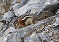 Golden-mantled Ground Squirrel. Spermophilus lateralis. Sciuridae - Flickr - gailhampshire (3).jpg