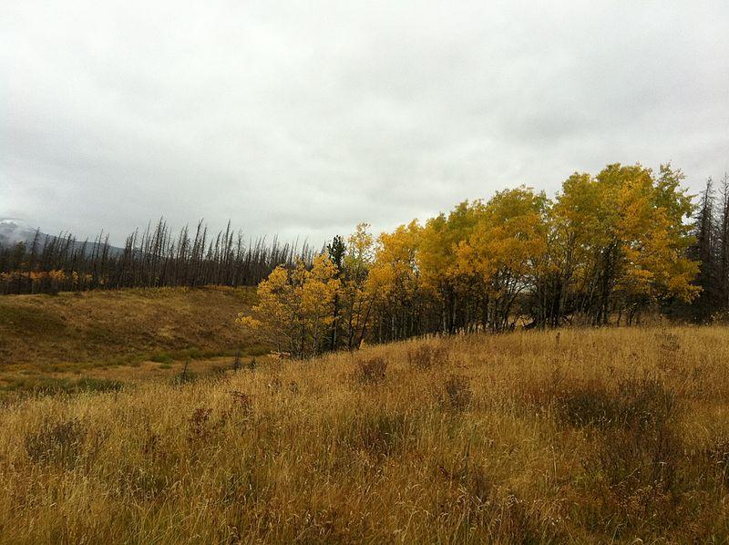 File:Golden Aspen to match the Grass - panoramio.jpg