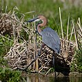 Goliath Heron, Ardea goliath at Marievale Nature Reserve, Gauten (43682842260).jpg