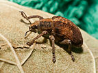 Gonipterus scutellatus from Coira, Portosín, Porto do Son, Galicia, Spain - 20100830-3.jpg