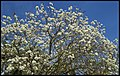 Grafton White Jacaranda-06 (22102124214).jpg