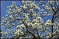 Grafton White Jacaranda-10 (22879876496).jpg