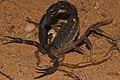 """Granulated Thick-tailed Scorpion (Parabuthus granulatus) """" Brown Phase """" (7003255311).jpg"""