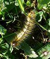 Grass Eggar Moth larva. Lasiocampa trifolii - Flickr - gailhampshire.jpg