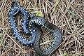 Grass Snake (Natrix natrix) (7159866791).jpg