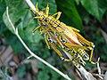 GrasshopperLubber102 Asit.jpg