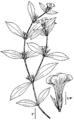 Gratiola neglecta NRCS-2.png