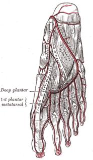 Plantar venous arch
