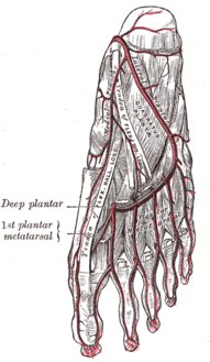 The plantar arteries. Deep view. (Medial plantar artery visible at upper left.)