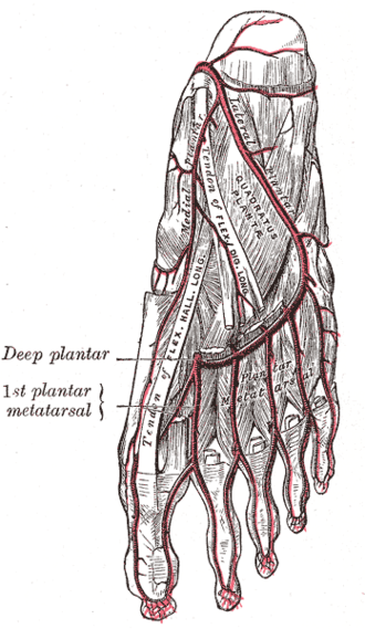 Posterior tibial artery - Image: Gray 555