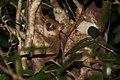 Gray mouse lemur microcebus murinus.jpg