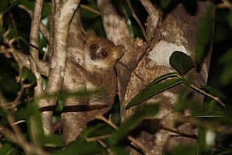 Gray mouse lemur - Grey mouse lemur at night in the Anjajavy Forest